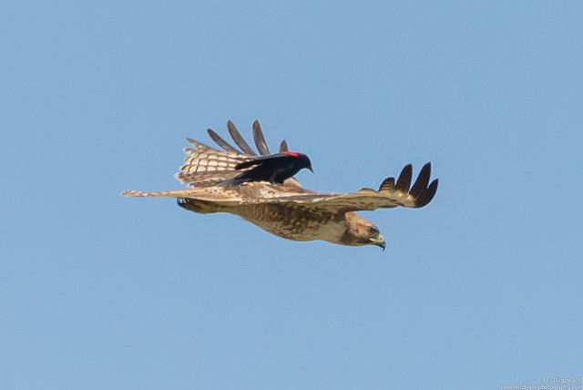 Brave Little Blackbird