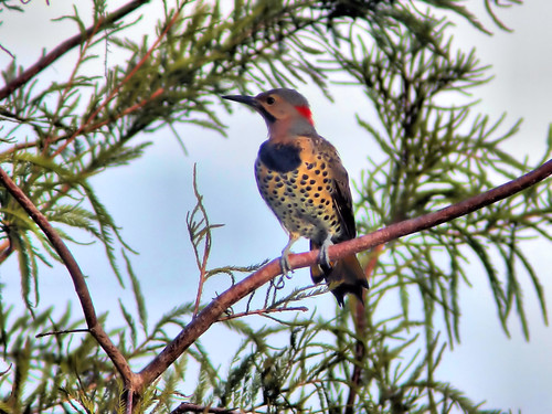 Northern Flicker HDR 02-20160903
