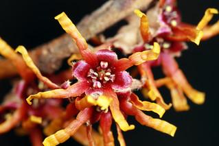 Hamamelis vernalis (Ozark witch hazel) | by Beetles in the Bush