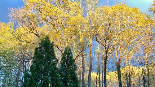 trees green yellow winstonsalem spring
