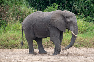 Elephant getting water from underground | by Laura Jacobsen