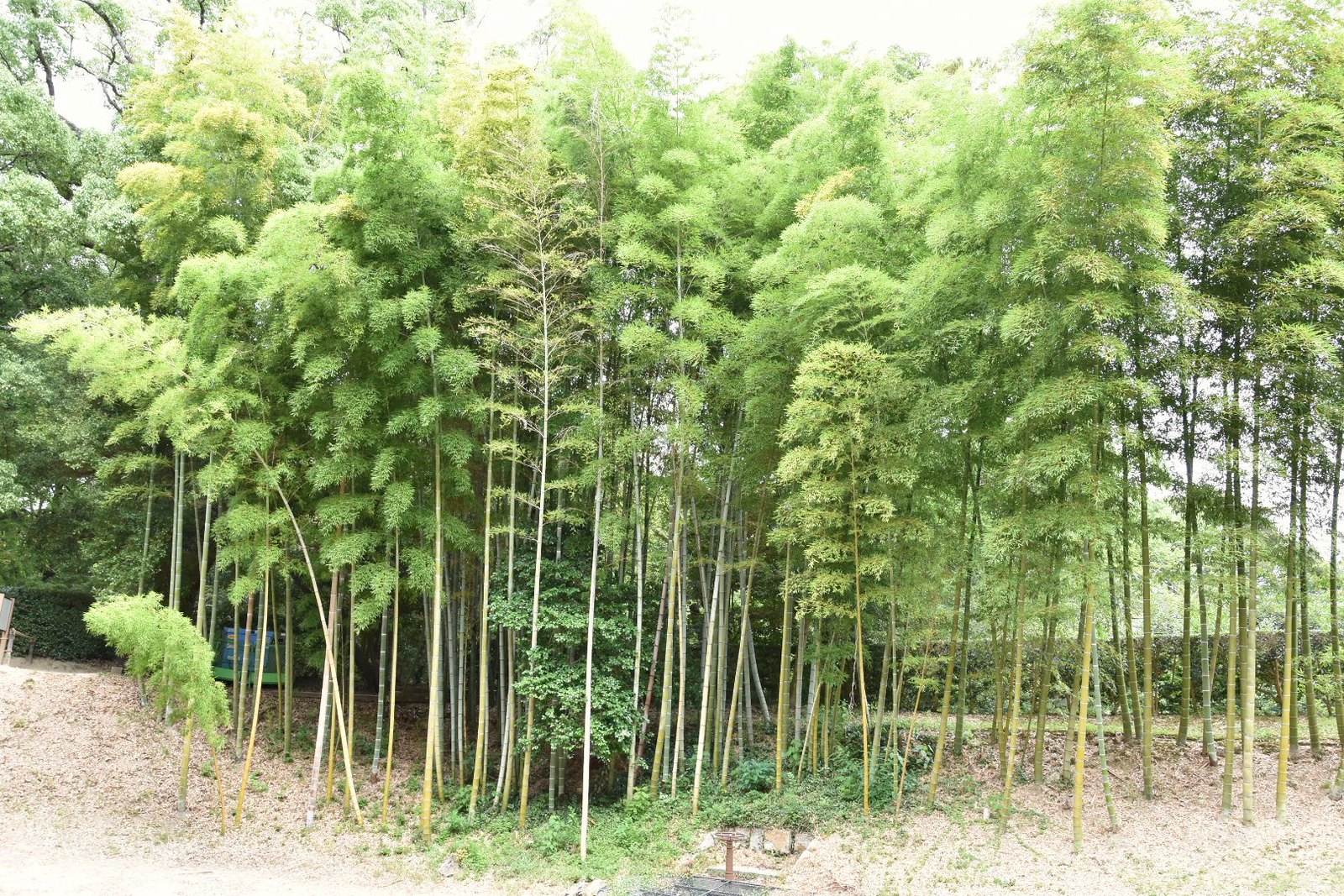Jardins de Kôraku-en - bambous