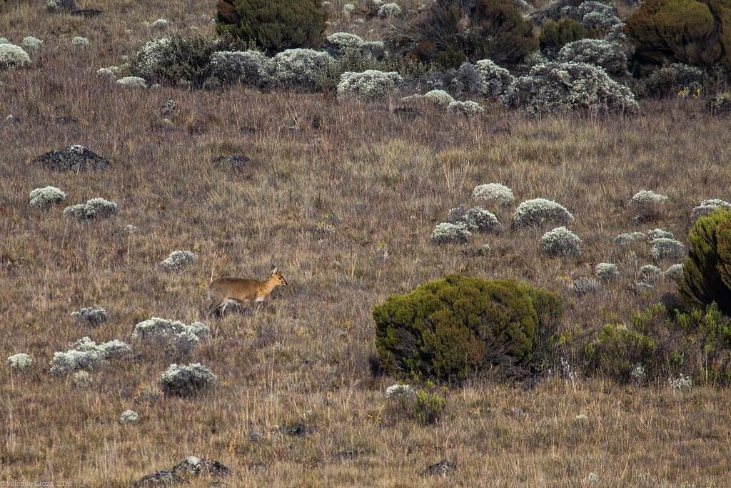 Kili_Machame_to_Shira_26_antilopa_Tanzania 3 iul18