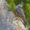 PEREGRINE Falco peregrinus by Rich Andrews