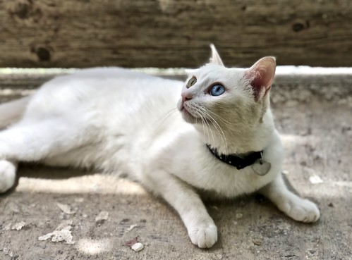 White (Clara) - A cat with a green and a blue eye | by pedrosimoes7