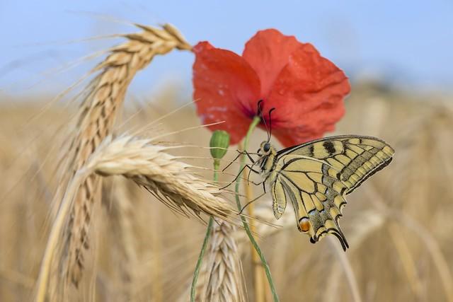 *The fleeing swallowtail*
