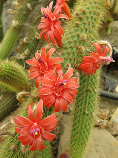 Cleistocactus sp. | by Umadeave