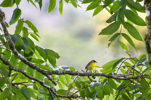 Gray-crowned Yellowthroat (Geothlypis semiflava) | by Simone Stefanetti