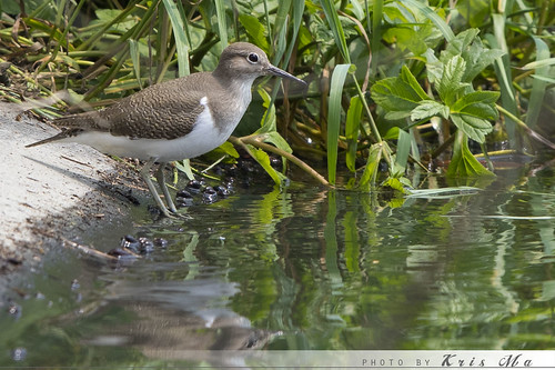 白腰草鹬Green Sandpiper | by kris_fish22