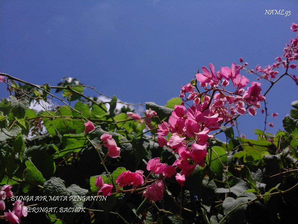 Bunga Air Mata Pengantin Antigonon Leptopus Nama Saint