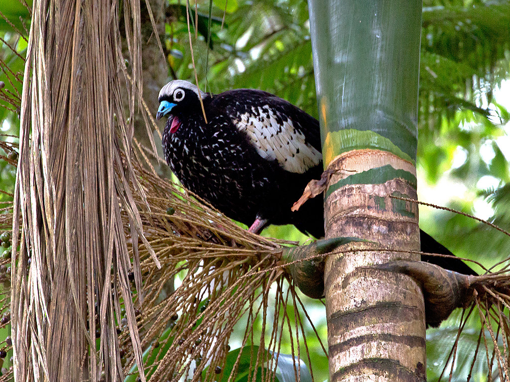 Black-fronted Piping Guan (Pipile jacutinga)