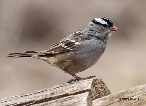 tx sparrow whitecrownedsparrow zonotrichialeucophrys zonotrichia lubbockcounty
