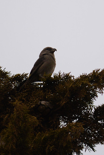 Common (Red) Crossbill (Loxia curvirostra) 22-9-14 | by Brian Carruthers-Dublin-Eire
