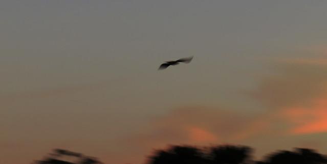 crow blur in flight (2015)