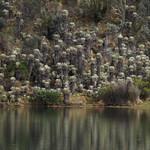Sa, 28.02.15 - 15:38 - Frailejones oder Schopfrosetten. DIE prägende Pflanze des Paramo, einer Klimazone der Anden