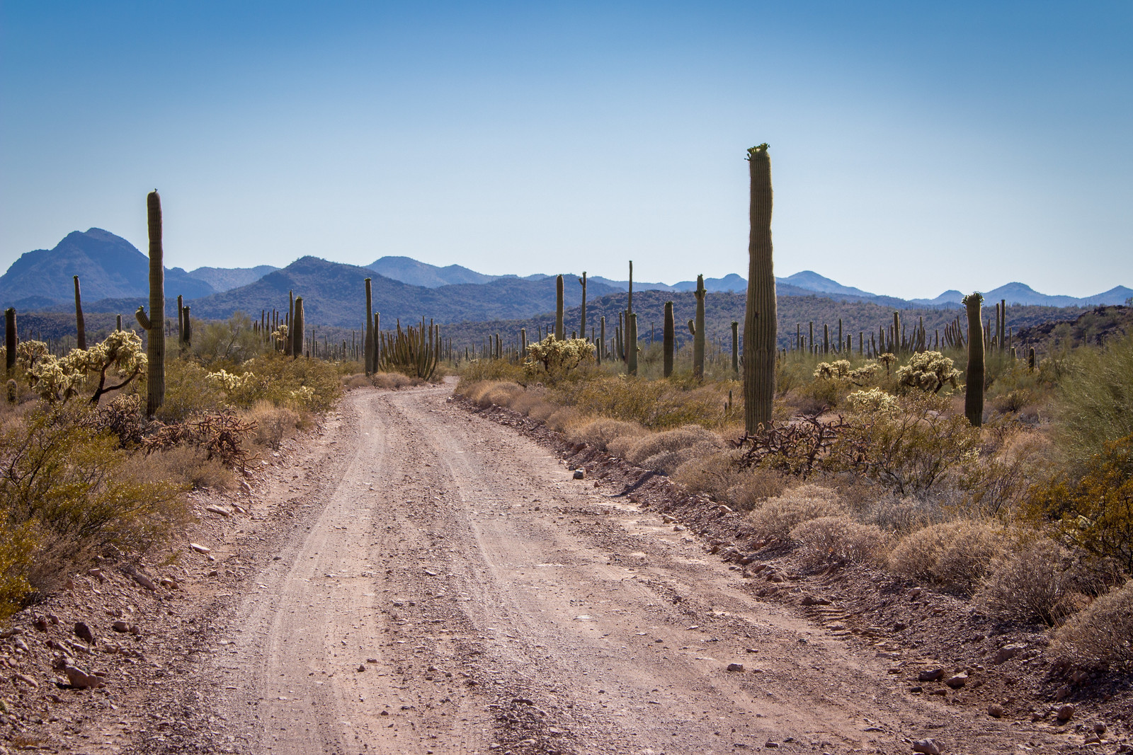 A dirt road with tall saguaro cactuses on either side with mountains in the distance