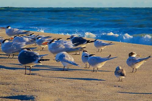 ocean seagulls beach sunrise dawn sand surf florida sandpipers terns indialantic