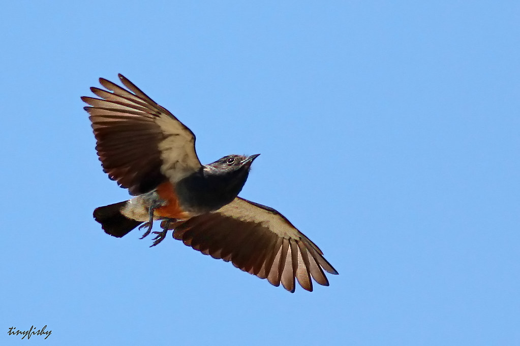 (403) Swallow-Winged Puffbird Hunting - [ Puerto Maldonado, Peru ]