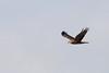 Eastern marsh harrier -Birds of Japan- by KazKuro
