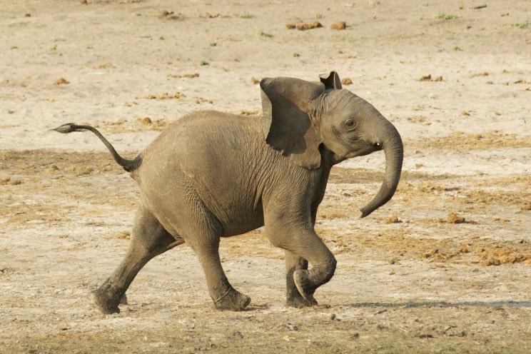 Proud little elephant