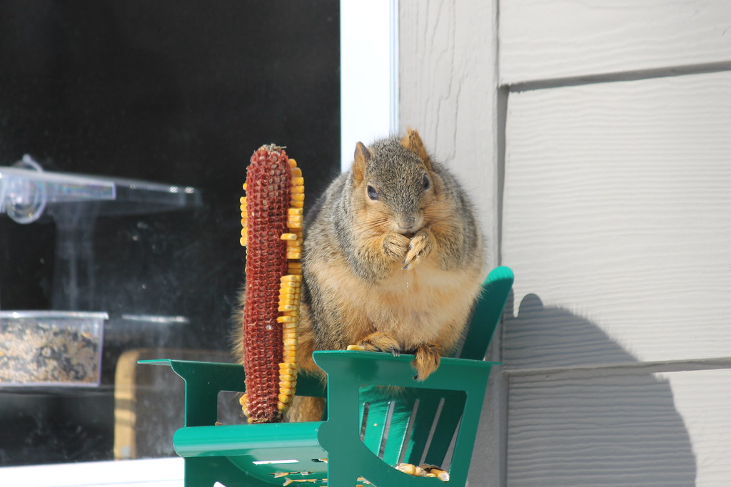 257/365/2448 (February 23, 2015) - Squirrel at my Feeder at the University of Michigan (February 23, 2015) - Explored!