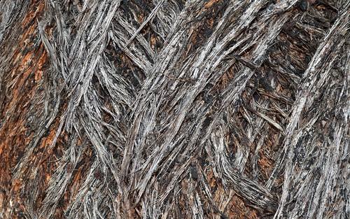 myrtaceae eucalyptus needlebarkstringybark australiantrees bark trunk orararivervalley clarencevalley northernrivers nsw australia northcoastbotanicalsubdivision eucalyptusbaileyana baileysstringybark
