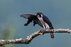 Pied Falconet (Microhierax melanoleucos) 白腿小隼 bái tuǐ xiǎo sǔn by China (Jiangsu Taizhou)