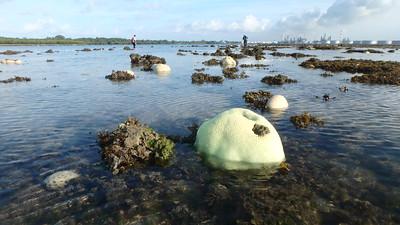 Mass coral bleaching at Terumbu Semakau, 9 Jul 2016