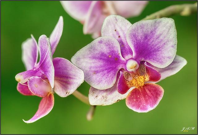 Dos orquideas para ti