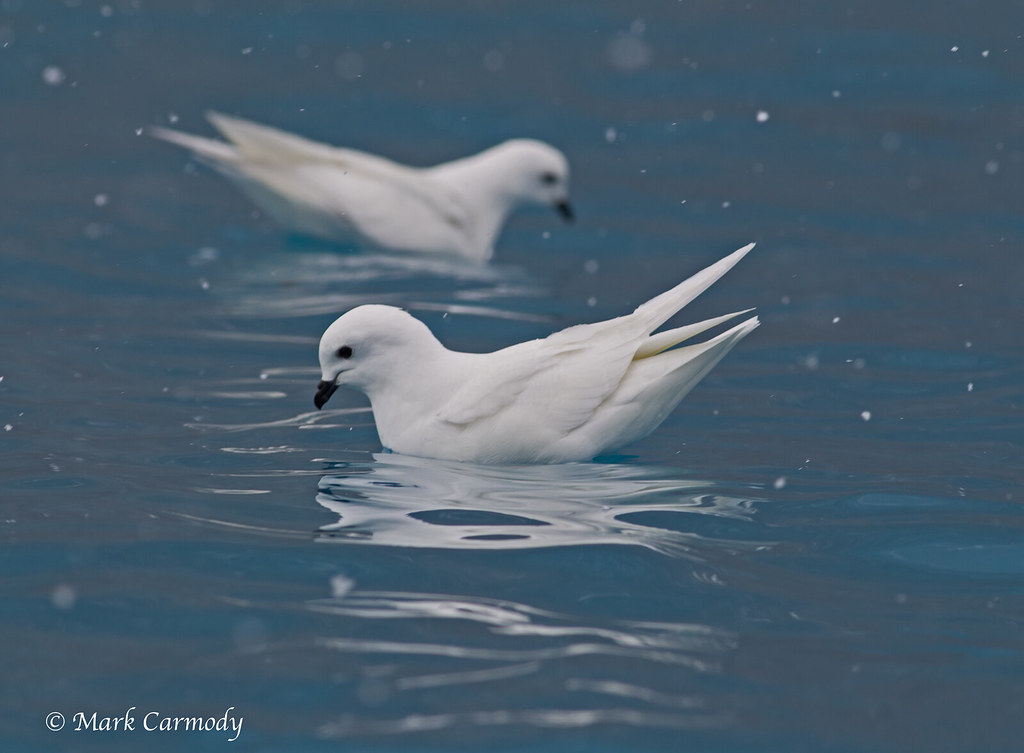Snow Petrel (Pagodroma nivea) | The Snow Petrel is the only … | Flickr