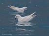 Snow Petrel (Pagodroma nivea) by Mark Carmody