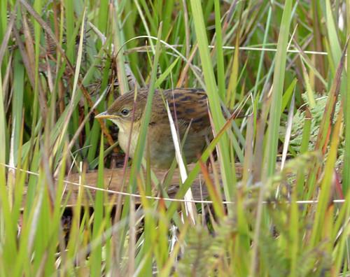 Papuan Grassbird, Tawny Grassbird (Cincloramphus macrurus) (Megalurus timoriensis) (Megalurus macrurus)