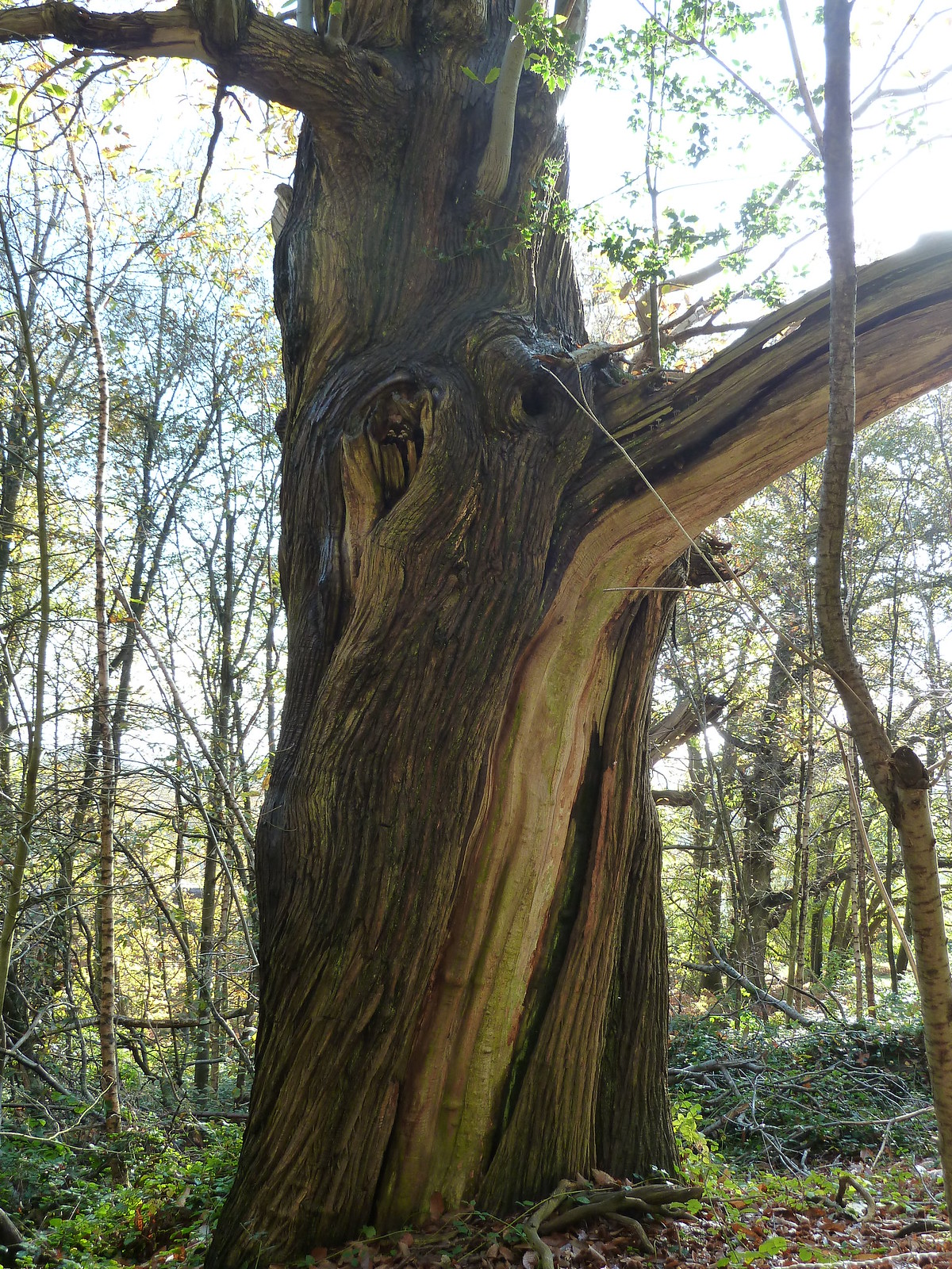 Twisted Sweet Chestnut (Milford to Godalming) Veteran Chestnut tree.