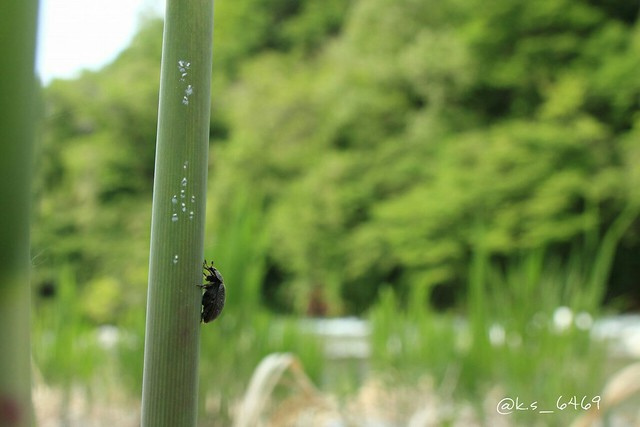 Nicagus japonicus