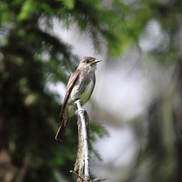 Olive sided-flycatcher.Contopus cooperi