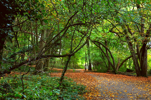 uk autumn trees leaves gate path hornbeam stanmore bentleypriorynaturereserve nikond7100 october2014 heriotwood