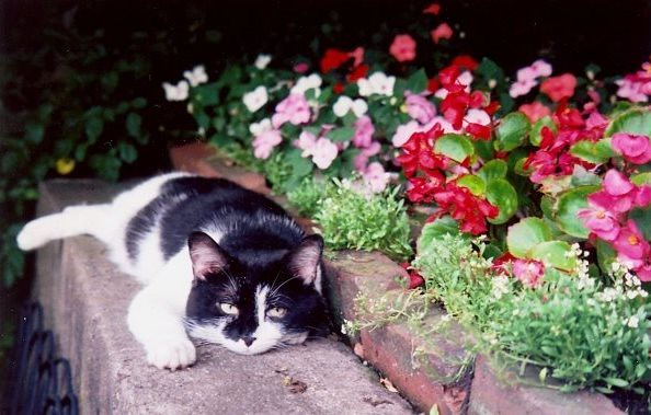 Groucho, a neighbor's cat,  & flowers; June 19, 2009