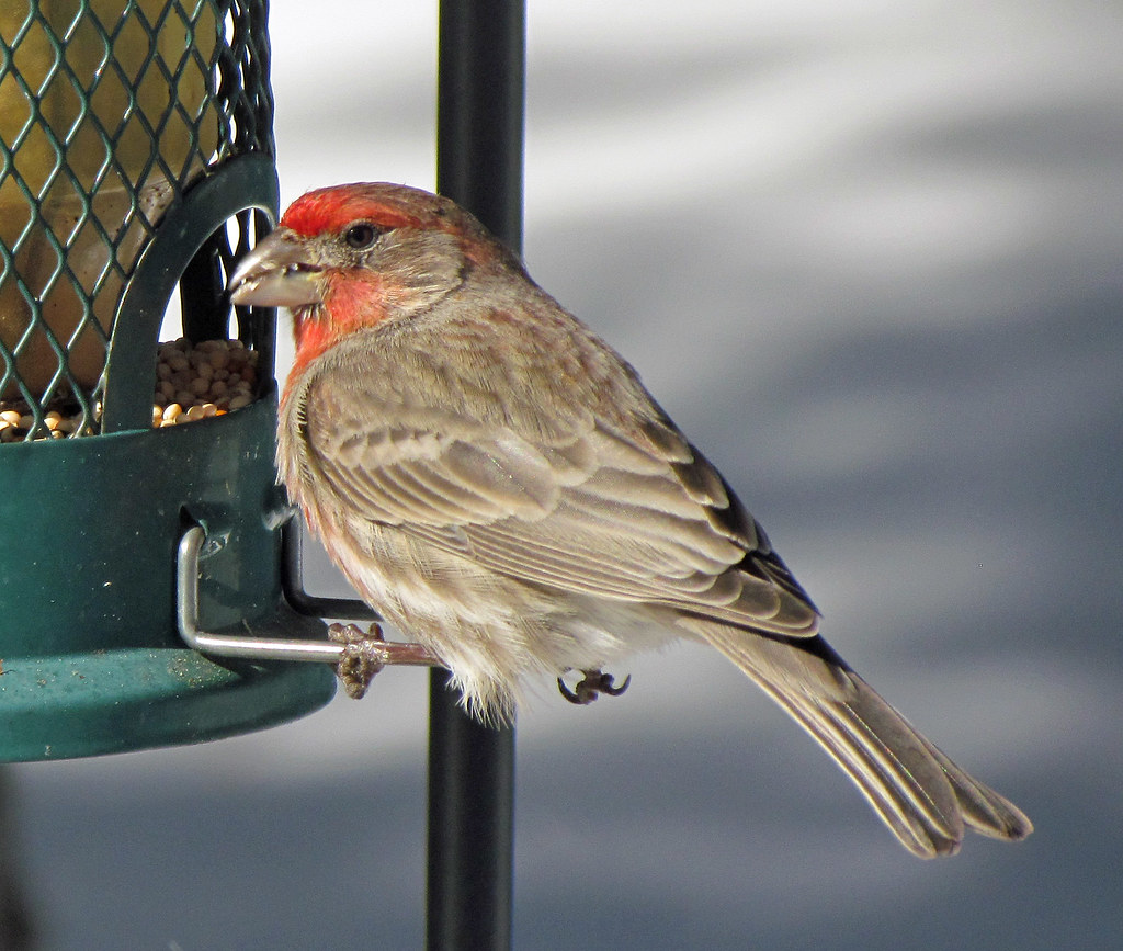 Male House Finch: Colorado Springs, Colorado (CO)   One of t…   Flickr