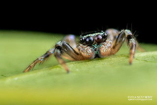 Jumping spider (Thiania sp.) - DSC_7821