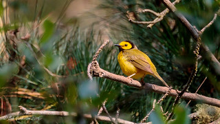 Hooded Warbler | by Bob Gunderson