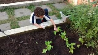 Horta Integral- alface - 1º e 2º anos (ago/16)