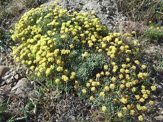 Eriogonum caespitosum 2015.4.28.1   by geodesert