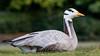 Bar-headed Goose (Anser indicus)-1226 by Stein Arne Jensen