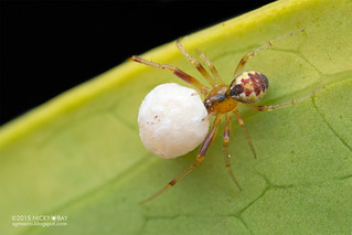 Comb-footed spider (Anelosimus sp.) - DSC_6856