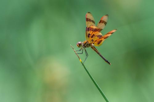 summer macro dragonfly nature bug green insect orange halloweenpennant philadelphia pennsylvania unitedstates us nikon d7200 wings