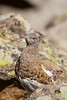 White-tailed Ptarmigan (Lagopus leucura), Mt. Audubon, Indian Peaks Wilderness, Colorado by palmchat