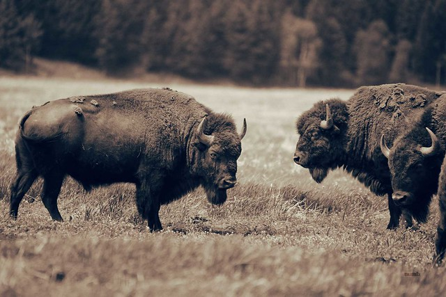 Bison Drama in Mating Season
