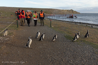 Megellanic Penguins Have the Right-of-way on Magdelena Island, Chile | by ppoggio2