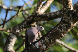 Red-eyed Dove (Streptopelia semitorquata) | by Laurent Esselen