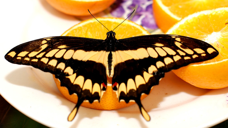 Butterfly likes lemon